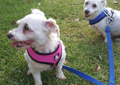 Vicki-pet-sitting-dog-walking-terriers-600